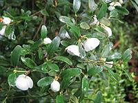 Eucryphia milliganii (1)
