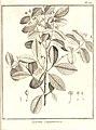 Eugenia guianensis Aublet 1775 pl 201.jpg