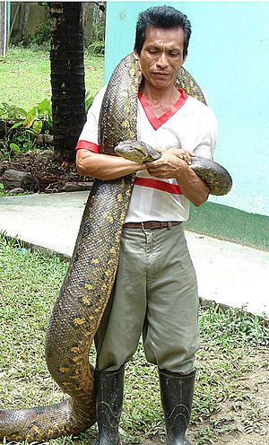 Anaconda - Eunectes murinus in Colombia