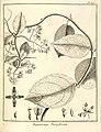 Eupatorium parviflorum Aublet 1775 pl 315.jpg