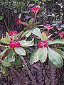 EuphorbiaMilii.jpg