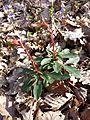 Euphorbia amygdaloides sl4.jpg