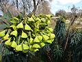 Euphorbia characias subsp. wulfenii in Jardin des Plantes 07.JPG
