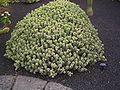 Euphorbia polyacantha.jpg