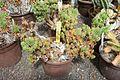 Euphorbia submammillaris-Jardin des plantes de Nantes.jpg