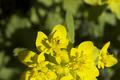 Euphorbiaepithymoides-20120506i.png