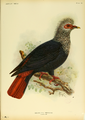 Extinctbirds1907 P22 Alectroenas nitidissima0325.png