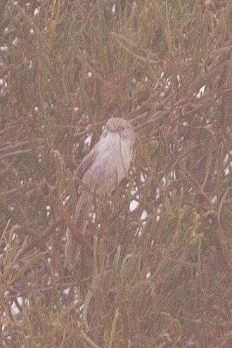 Eyrean grasswren - Image: Eyrean Grasswren (Amytornis goyderi) (8079658809)