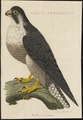 Falco peregrinus - 1770-1829 - Print - Iconographia Zoologica - Special Collections University of Amsterdam - UBA01 IZ18200122.tif