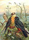Falco vespertinus NAUMANN.jpg