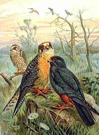 Falco vespertinus NAUMANN