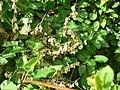 Fallopia baldschuanica 20050913 641.jpg