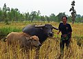 Farmer of non ngam - panoramio.jpg