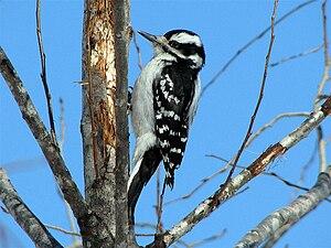 Hairy woodpecker - Image: Female Hairywoodpecker