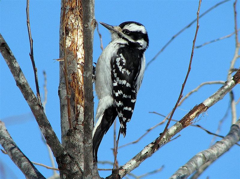 File:FemaleHairywoodpecker.jpg