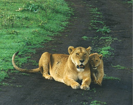 Female and baby lions