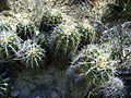 Ferocactus flavovirens (5753681593).jpg