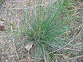 Festuca trichophylla.jpeg