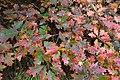 Feuillage automnal chêne rouge d'Amérique 01.jpg