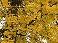 Feuillage du ginkgo biloba en automne.jpg
