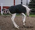 Fewspot appy foal bucking.jpg