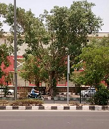 pipal tree wikipedia