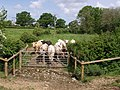 Field with bullocks near River Lew - geograph.org.uk - 439223.jpg