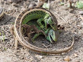 Fighting Sand lizards (Lacerta agilis) 4295304.jpg