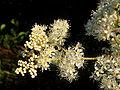 Filipendula ulmaria Flower.jpg