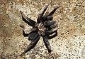Fimbriated Striated Burrowing Spider Chilobrachys fimbriatus by Dr. Raju Kasambe DSCN6711 (3).jpg