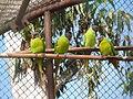 Finsch's Parakeet Psittacula finschii by Dr Raju Kasambe (1).JPG