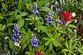 First day of the summer in the Alpine flowers of Sun Peaks...Common Red Paintbrush (Castilleja miniata) and Arctic lupine (Lupinus arcticus)... (28014335340).jpg