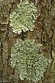 Flavoparmelia caperata (4501189949).jpg