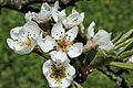 Fleur de pommier 01.jpg