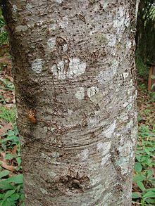 Nectandra angusta