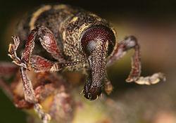 Flickr - Lukjonis - Bug - Hylobius abietis.jpg