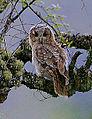 Flickr - Rainbirder - Tawny Owl (Strix aluco) recently fledged.jpg