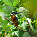 Flickr - coniferconifer - Kingfisher in summer plumage.jpg
