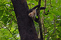 Flickr - ggallice - White-fronted capuchin monkey.jpg
