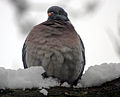 Flickr - law keven - Welcome to British Summer Time Mr Pigeon...jpg