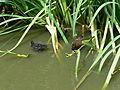 Flickr - ronsaunders47 - Love a duck..jpg