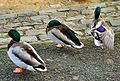 Flickr - ronsaunders47 - THREE IGNORANT DUCKS..jpg
