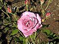 Floribunda - Lilac Dawn 2 (b).JPG
