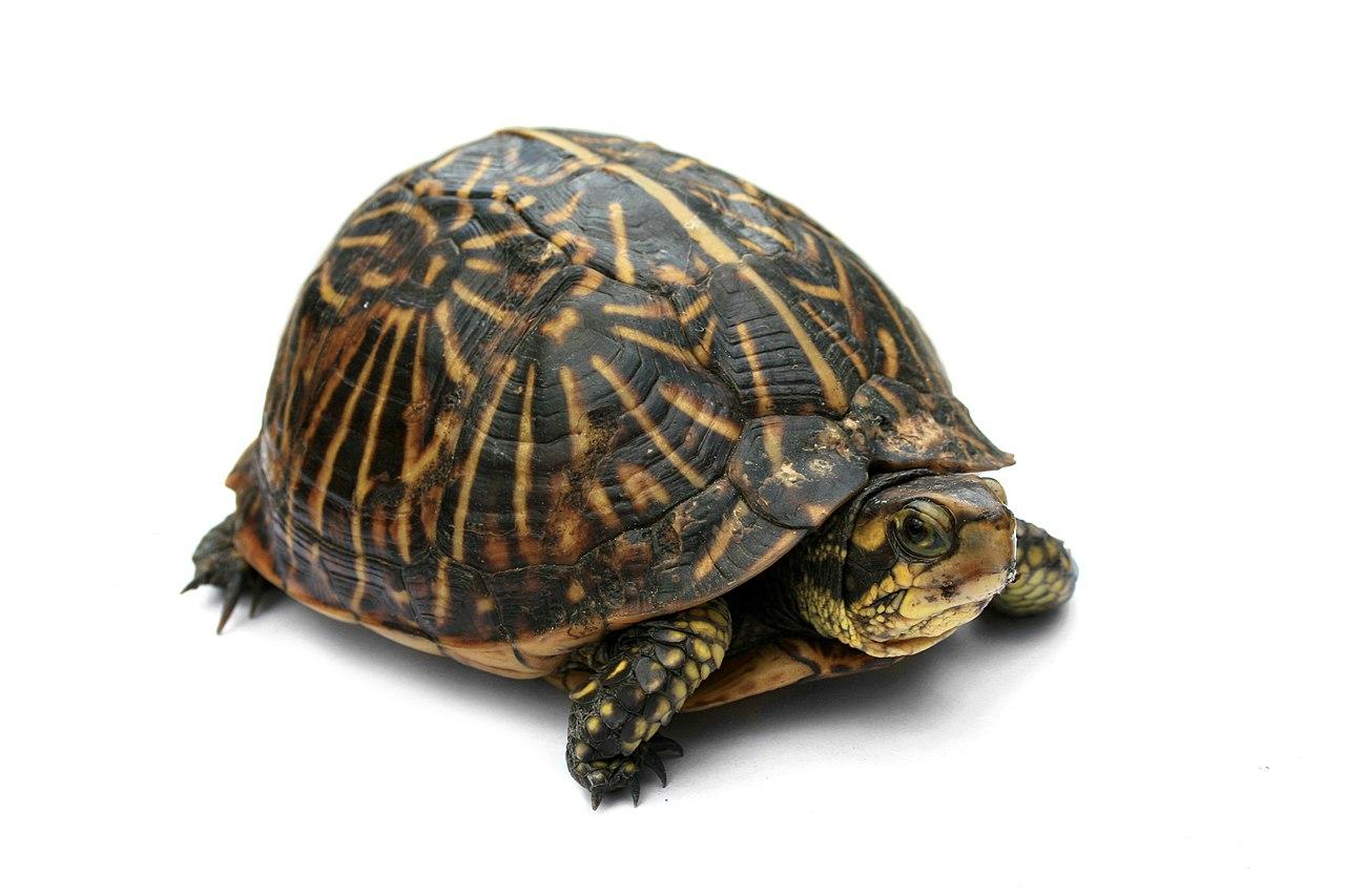 Terrapene Carolina - Cuidados de Tortugas Caja