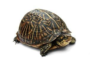 Box turtle genus of reptiles