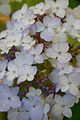 "Flower, Hydrangea ""Maiko"" - Flickr - nekonomania (3).jpg"