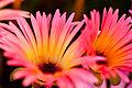 "Flower, Livingstone Daisy ""Lumine"" - Flickr - nekonomania (2).jpg"