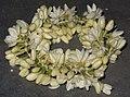 Flower, MULLAI 3.jpg