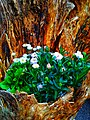 Flowering plants Photo by Giovanni Ussi 29.jpg