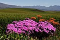 Flowers - Overberg, South Africa (4029301890).jpg